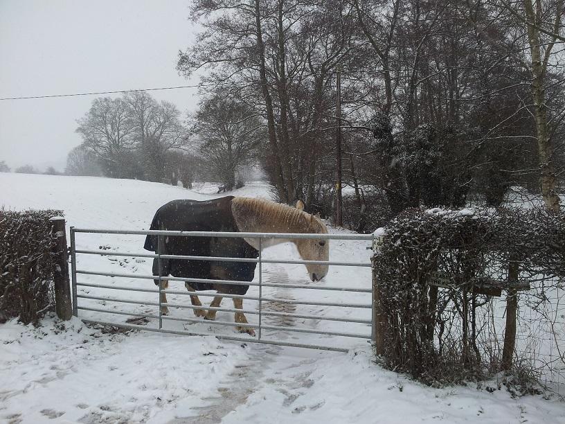 Horse in snow Pound Bridge MFA January 2013 -1